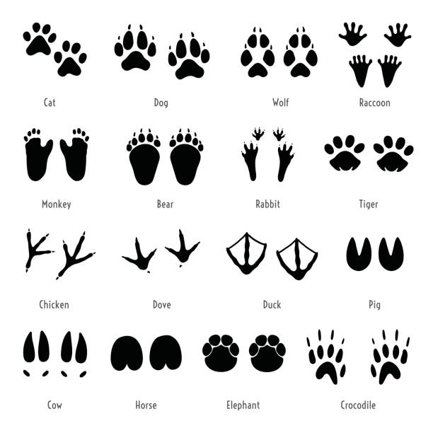 Différents pas de vis  Foot-trail-vector-animal-footprint-set-silhouettes-of-tracks-vector-id653035760?k=6&m=653035760&s=612x612&w=0&h=hlQ-3SGl3_fZRYjwYiVazaN_XQINmBNftbfgotbfwsI=