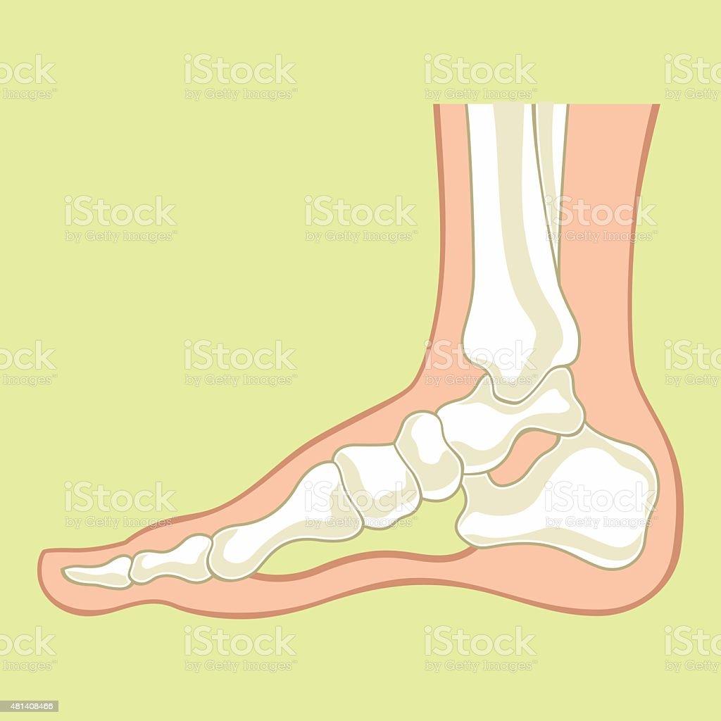 Foot x-ray. Vector flat illustration vector art illustration