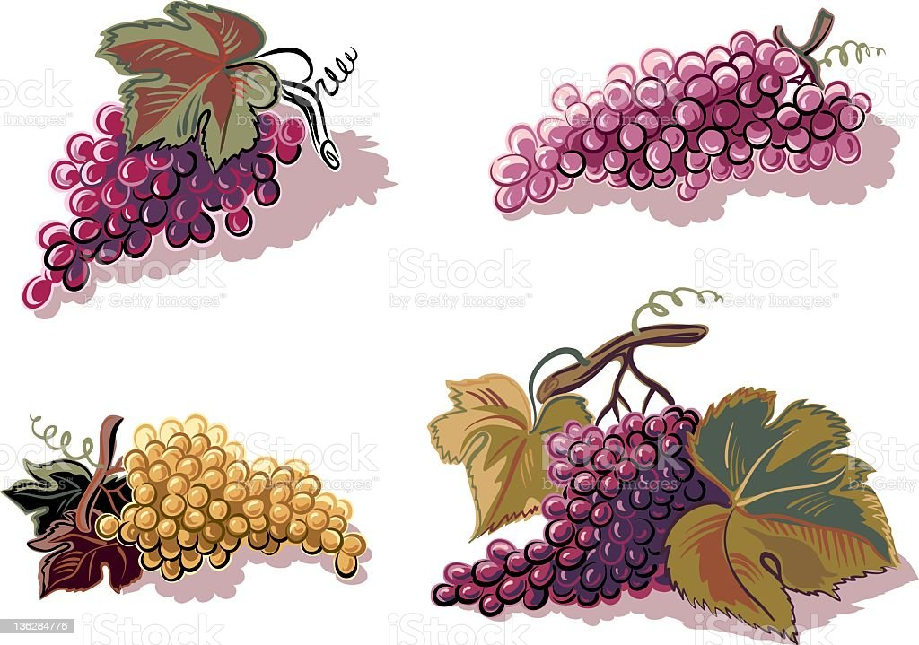 Four bunches of grapes on white background royalty-free stock vector art