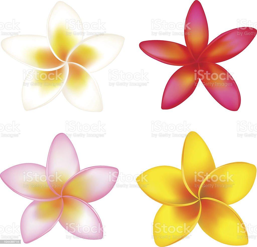 Four Fragipani vector art illustration