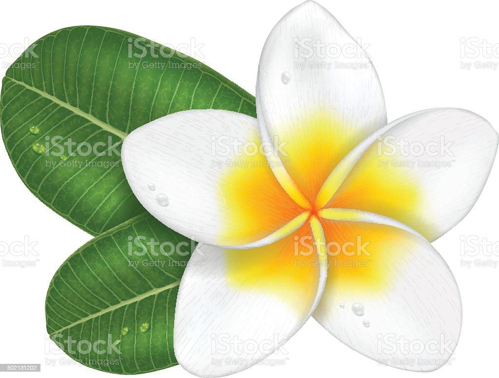 Frangipani flower with leaves. vector art illustration