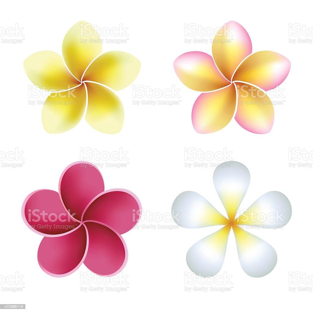 Frangipani (plumeria) flowers on white background vector art illustration