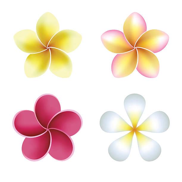 Frangipani Flowers Clip Art, Vector Images & Illustrations - iStock