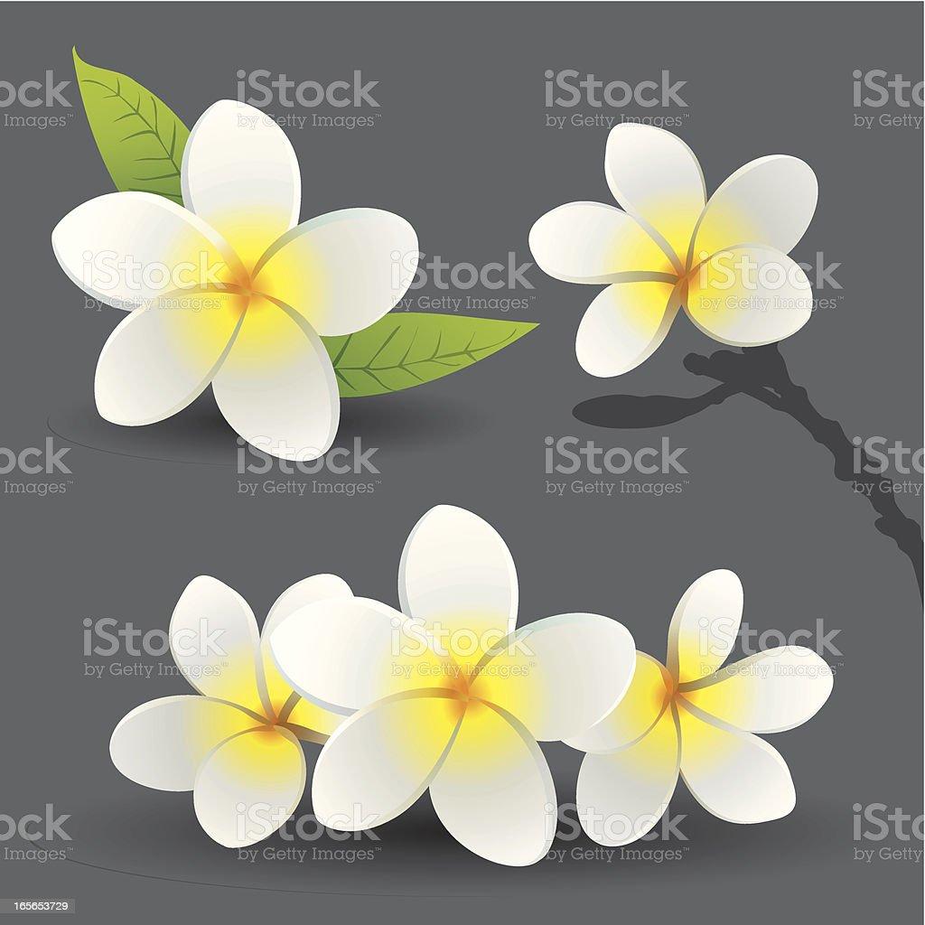 Frangipani flowers (Plumeria) vector art illustration