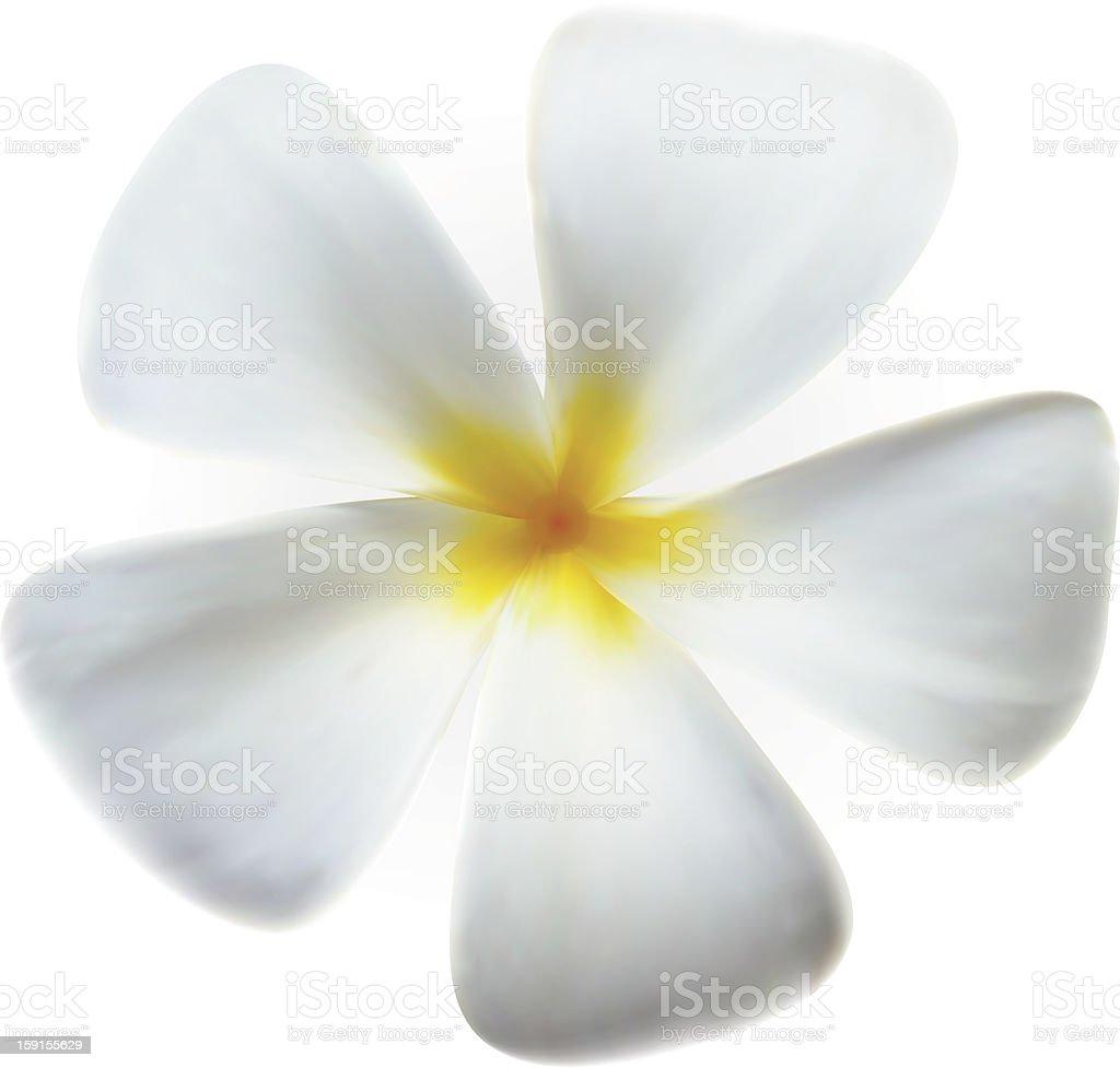 Frangipani plumeria Spa Flower isolated on white royalty-free stock vector art
