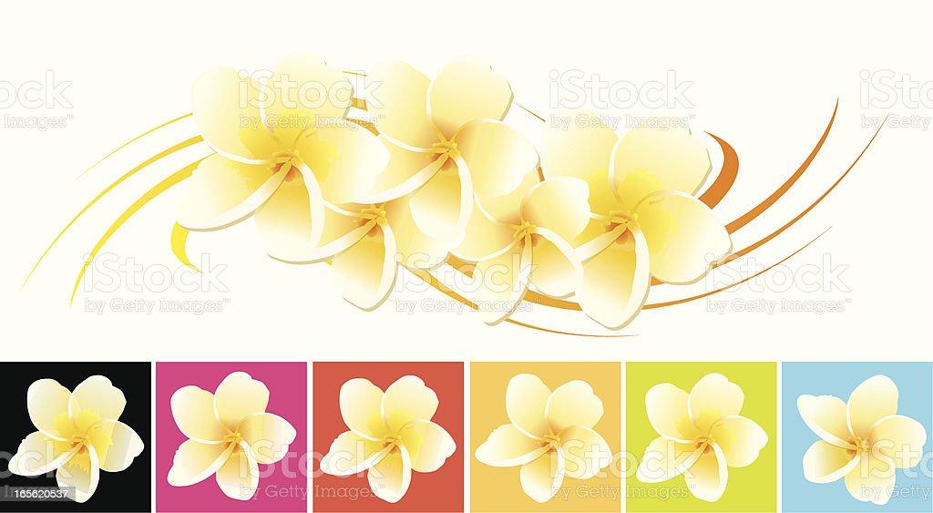 frangipani vector art illustration