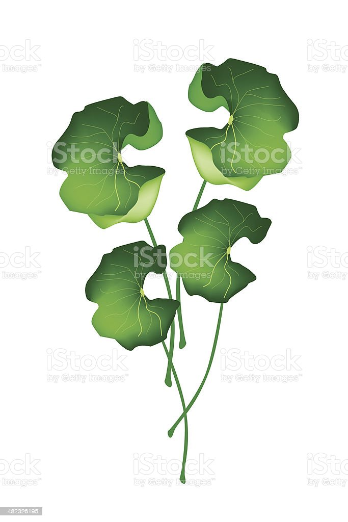 Fresh Asiatic Pennywort Plant on White Background vector art illustration
