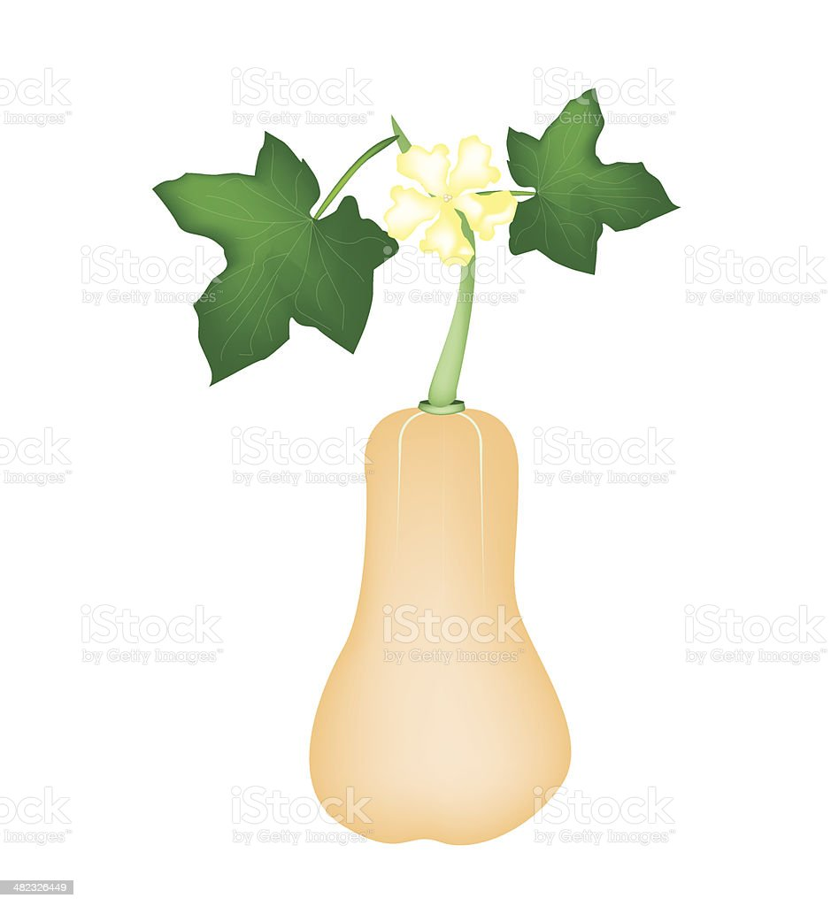 Fresh Butternut Squash Plant on White Background vector art illustration