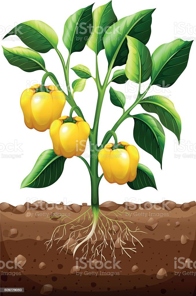 Fresh capsicum on the plant vector art illustration