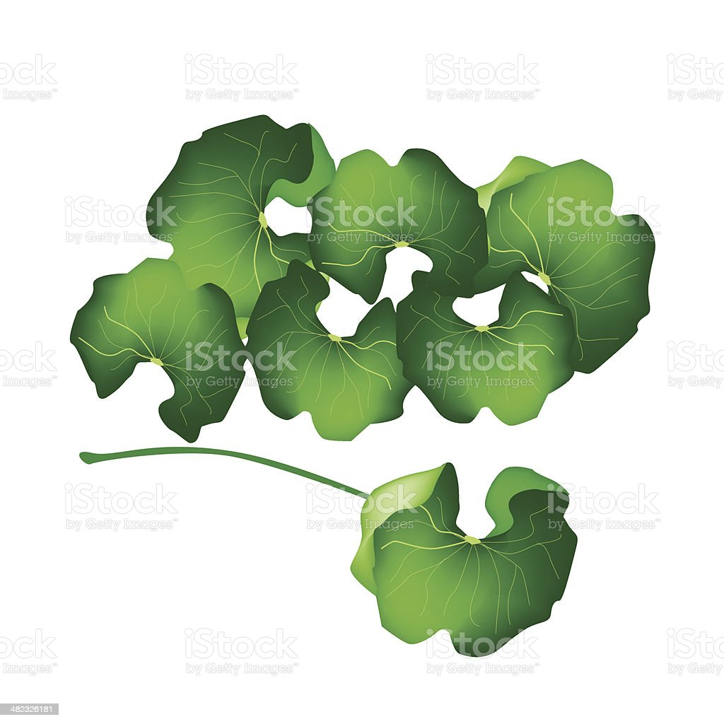Fresh Centella Asiatica Plant on White Background vector art illustration