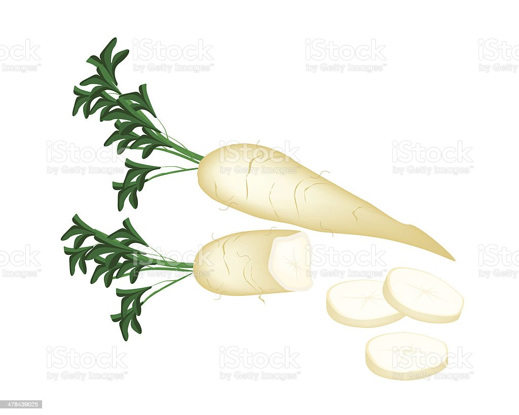 Fresh Daikon Radish on White Background vector art illustration