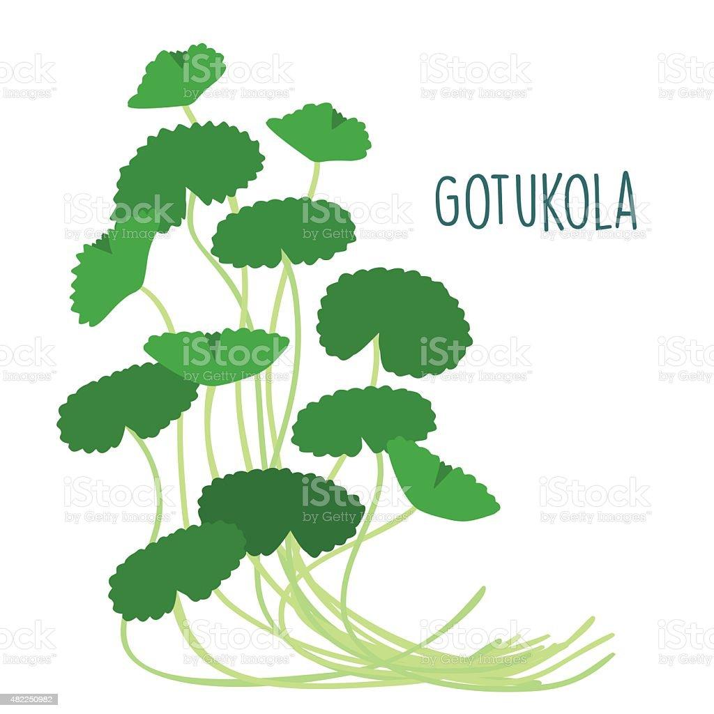 fresh gotukola leaf in withe backgruond vector vector art illustration