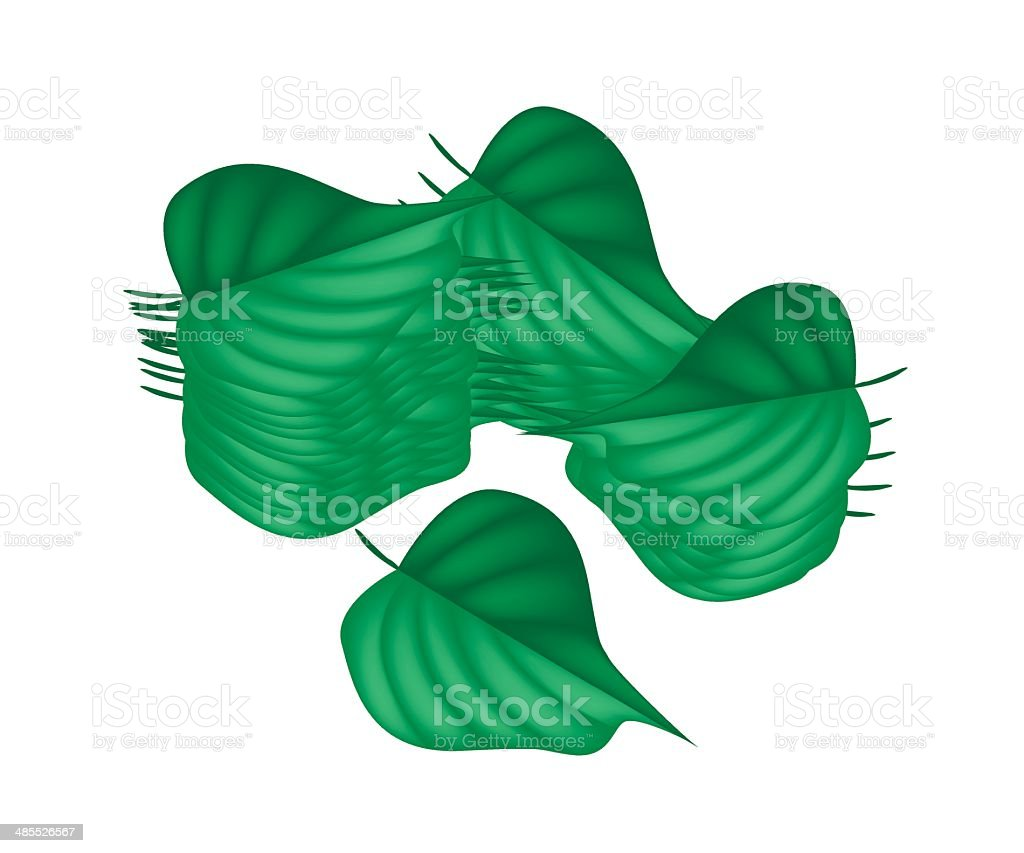 Fresh Green Betel Leaves on White Background vector art illustration