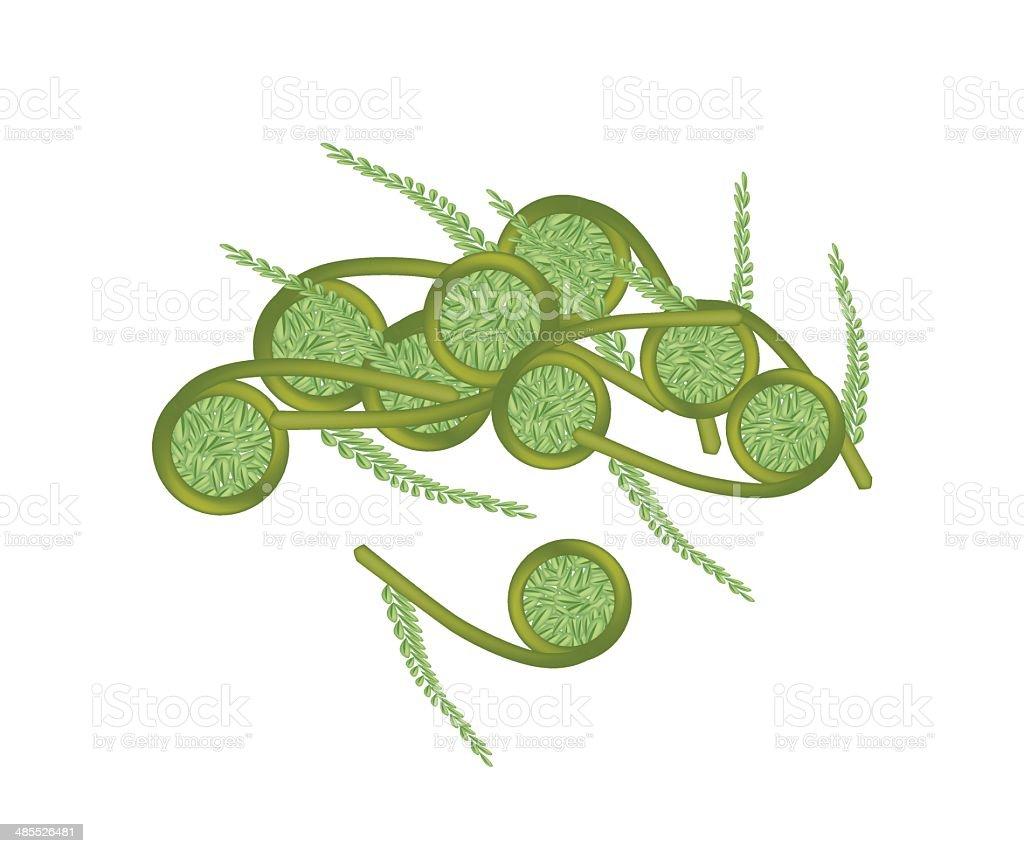 Fresh Green Fiddleheads Ferns on White Background vector art illustration