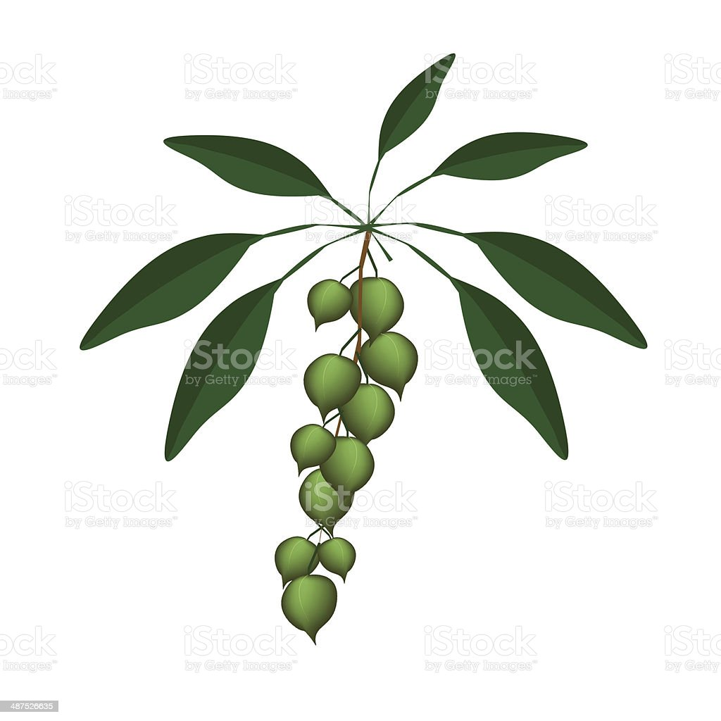 Fresh Green Macadamia Nuts on A Branch royalty-free stock vector art