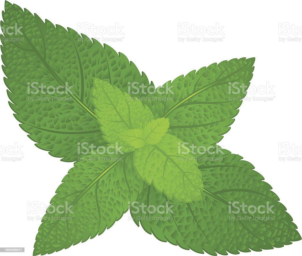 Fresh green mint vector art illustration
