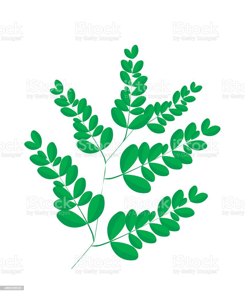 Fresh Moringa Leaves on White Background vector art illustration