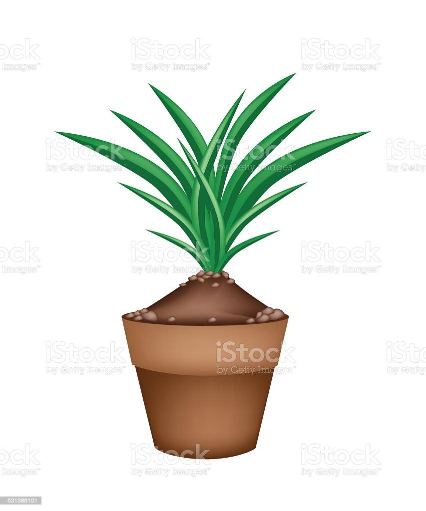 Fresh Pandan Plant in Ceramic Flower Pots vector art illustration