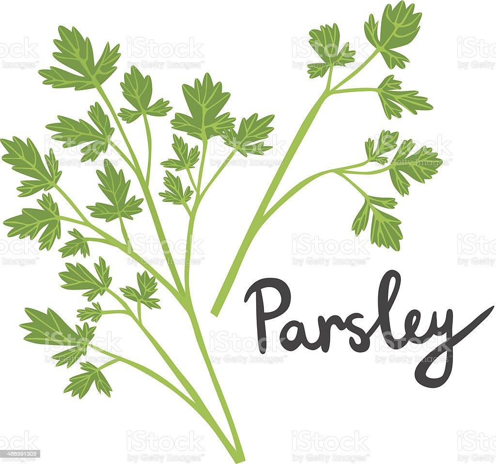 Fresh Parsley Illustration vector art illustration