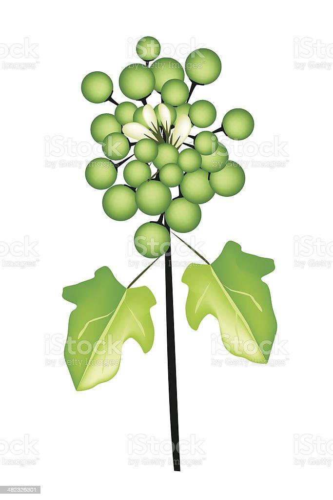 Fresh Pea Eggplant on A White Background vector art illustration