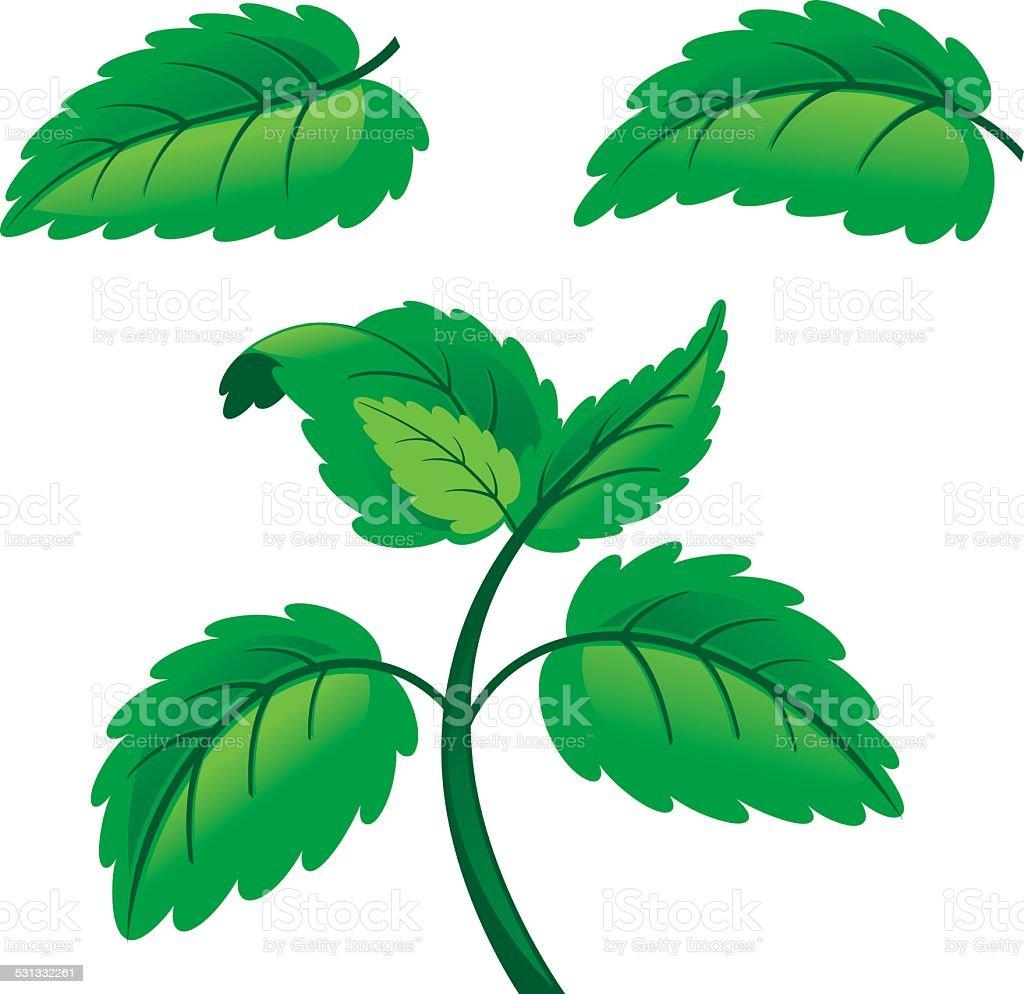 Fresh raw mint leaves vector art illustration