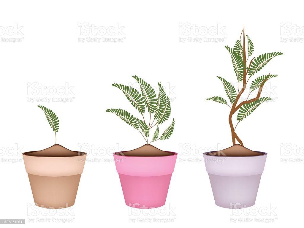 Fresh Tamarind Tree in Terracotta Flower Pots vector art illustration