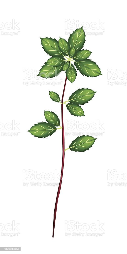 Fresh Thai Basil Plant on White Background royalty-free stock vector art