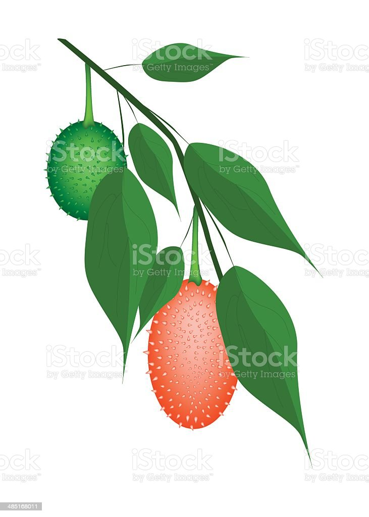 Fresh Two Teasel Gourds on A Tree vector art illustration