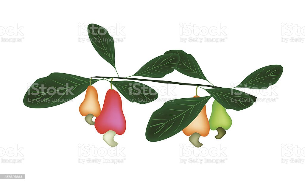 Fresh Unripe Cashew Nut on A Plant royalty-free stock vector art