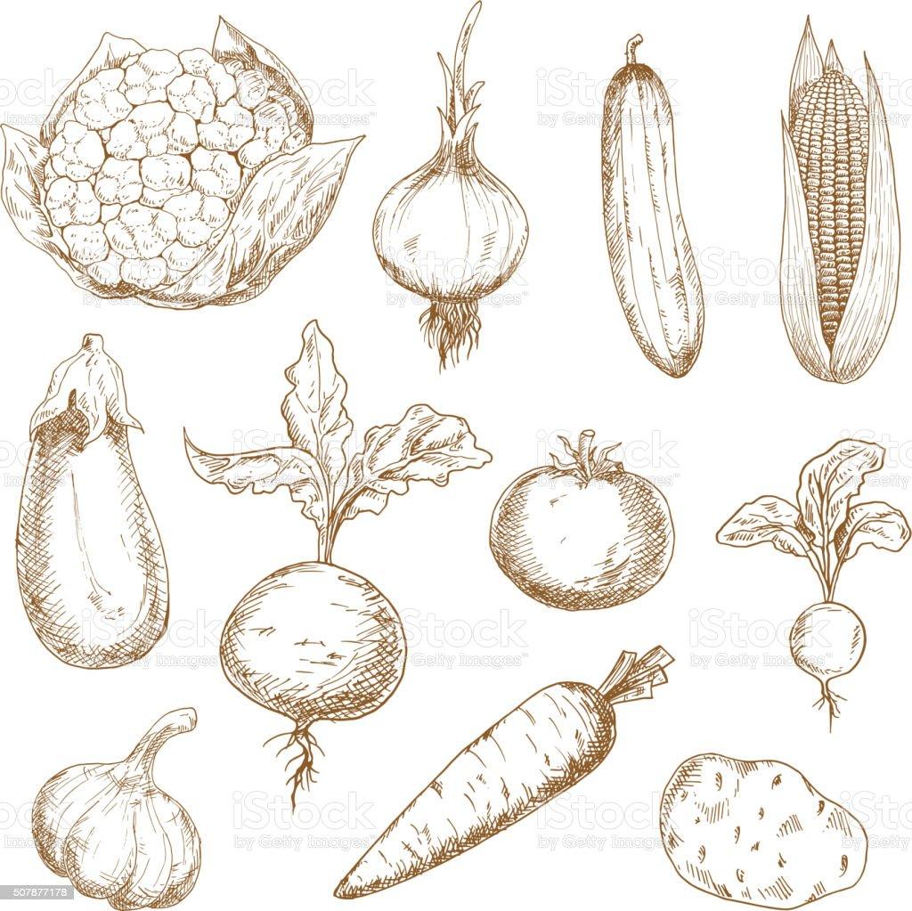 Fresh vegetables hand drawn sketches vector art illustration