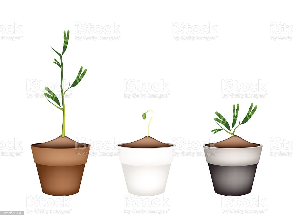 Fresh Water Mimosa in Ceramic Flower Pots vector art illustration