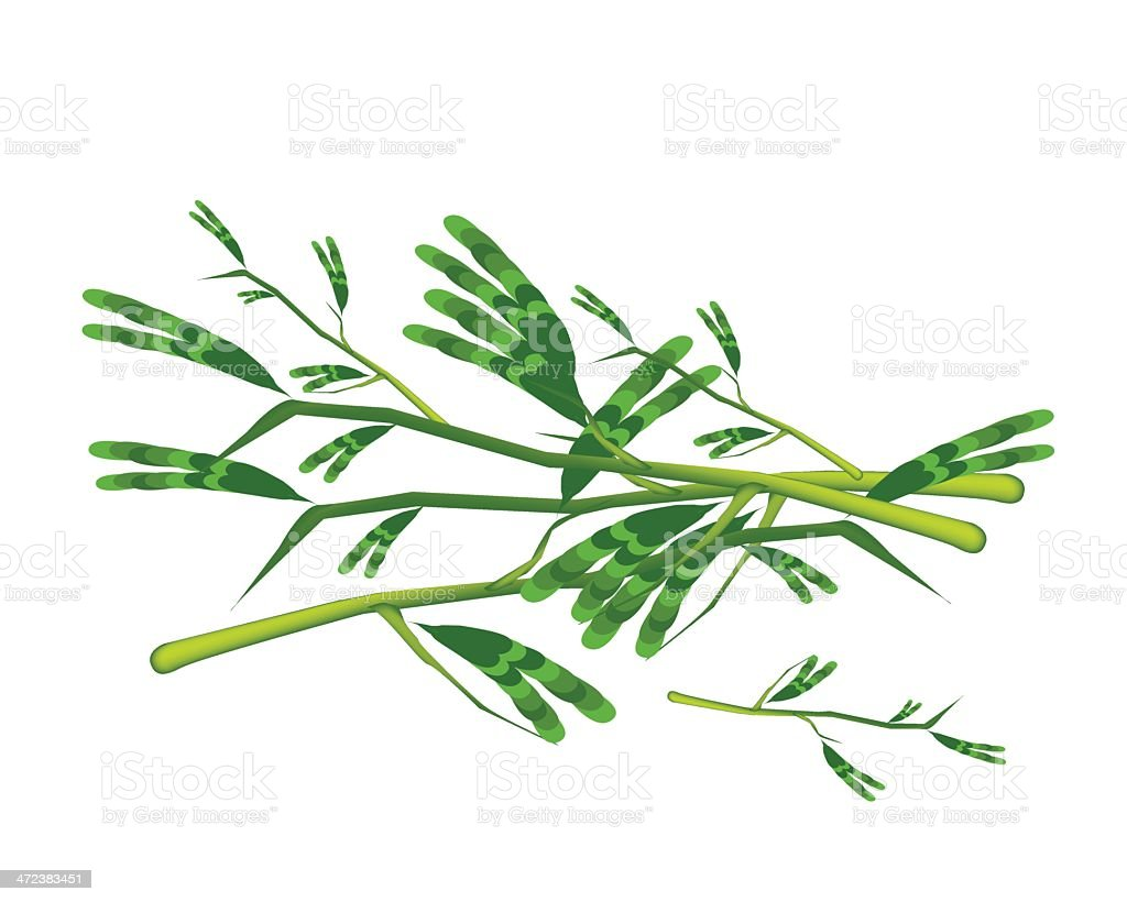 Fresh Water Mimosa on A White Background vector art illustration