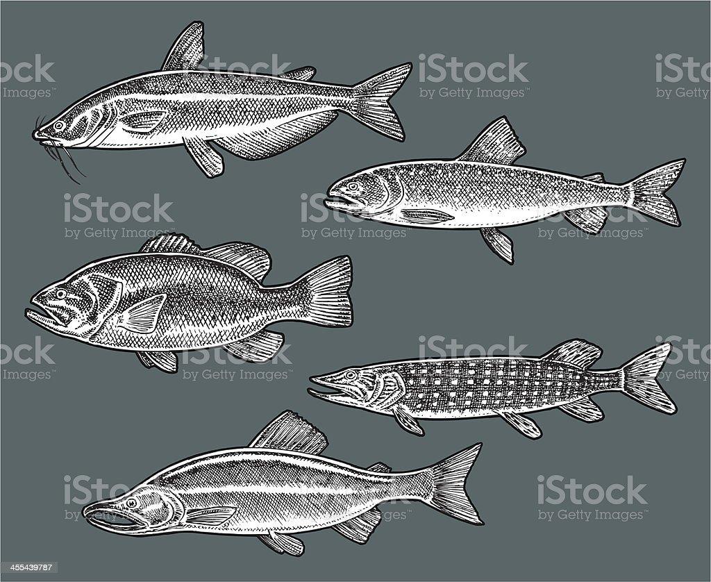 Freshwater Fish - Bass, Catfish, Trout, Salmon, Pike vector art illustration