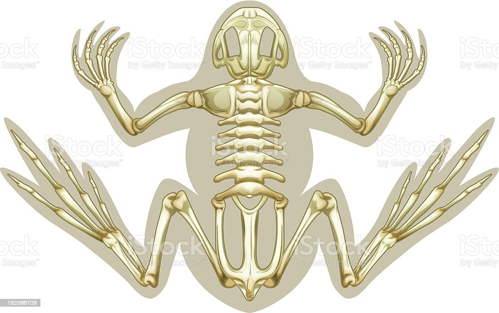 Frog skeletal system vector art illustration