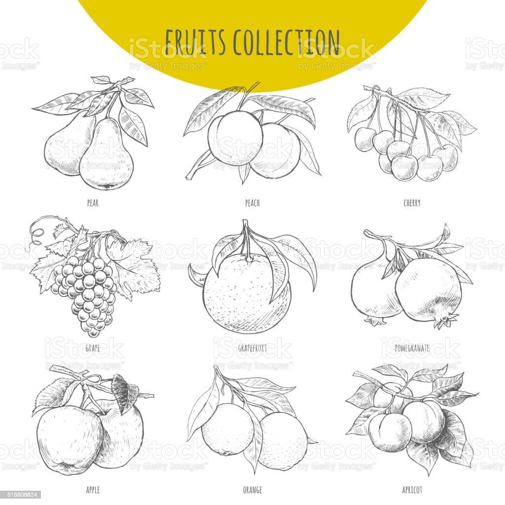 Fruits set vector freehand pencil drawn sketch illustration vector art illustration