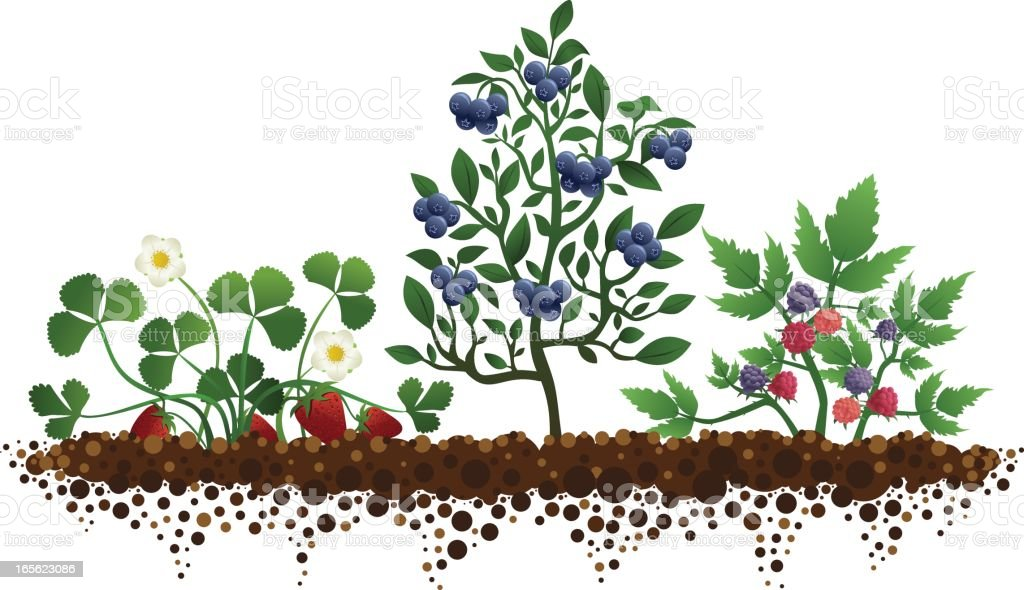 Garden with Strawberries, Blueberries, and Raspberries royalty-free stock vector art