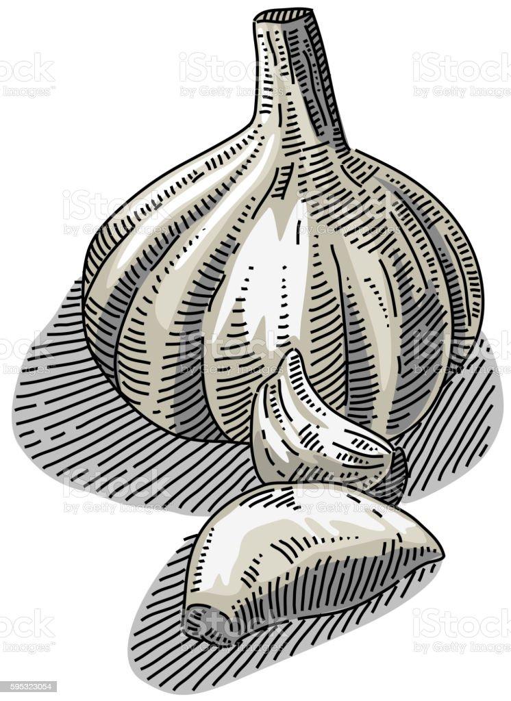Garlic Drawing vector art illustration