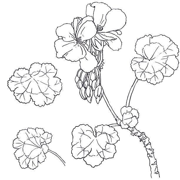 geranium flowers buds leaves vector art illustration