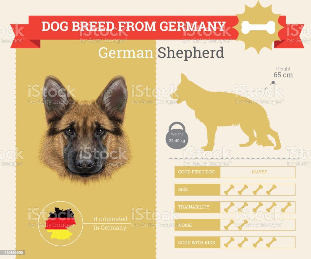 German Shepherd Dog breed vector infographics. This dog breed from...