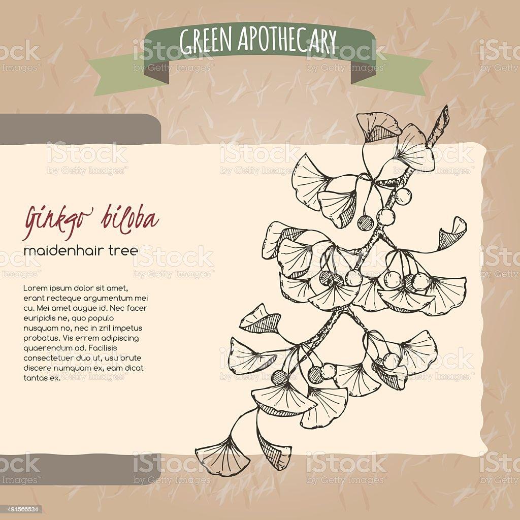 Ginkgo biloba  sketch. Green apothecary series. vector art illustration
