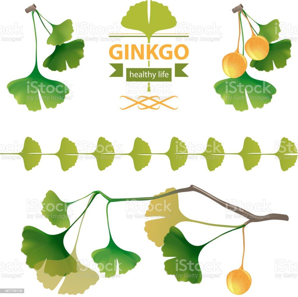 Ginkgo biloba royalty-free stock vector art
