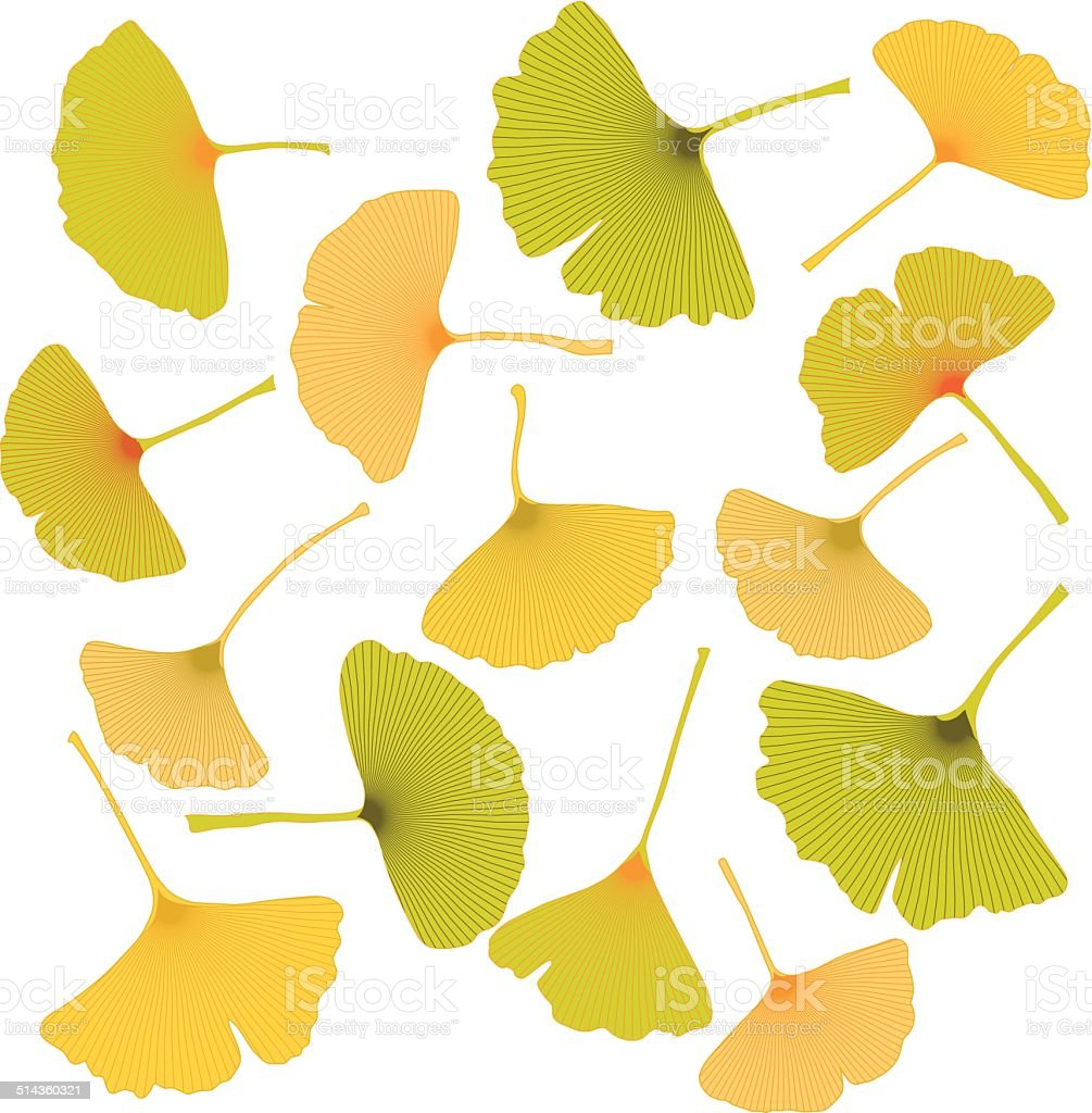 ginkgo leaves vector art illustration