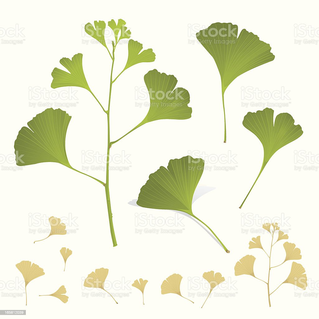 Ginkgo Plant Leafs Branch royalty-free stock vector art