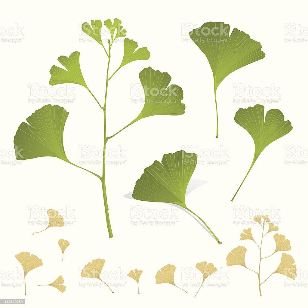 Ginkgo Plant Leafs Branch vector art illustration