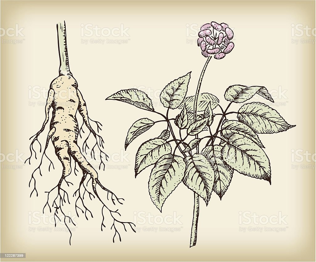 Ginseng (Panax), medicinal plant. vector art illustration