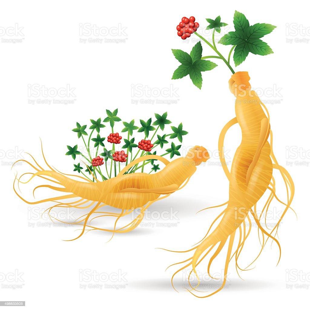 Ginseng plant vector art illustration