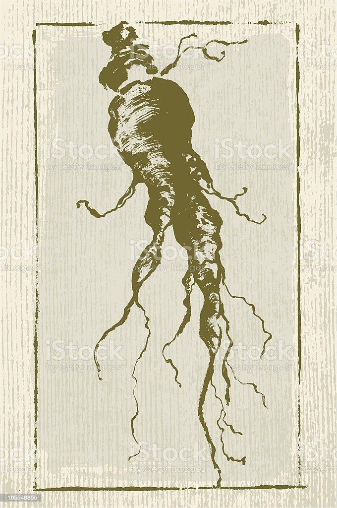 Ginseng Root vector art illustration