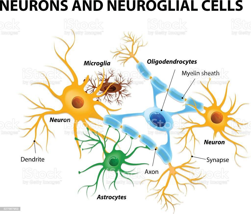 Glial cells in the brain vector art illustration