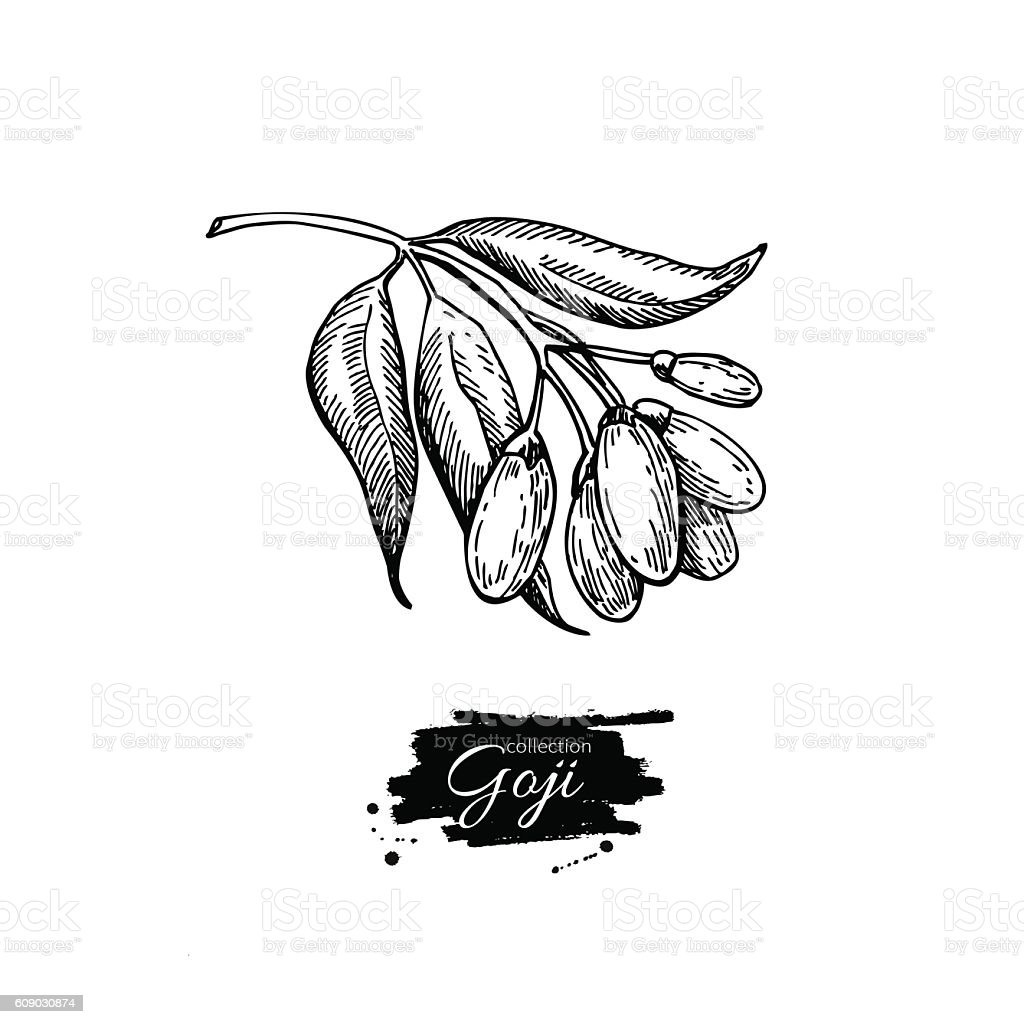 Goji berry vector superfood drawing. Isolated hand drawn  illust vector art illustration