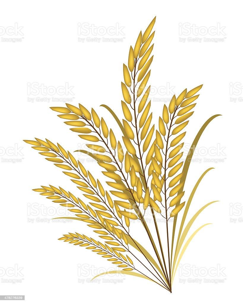 Golden Colors of Jasmine Rice on White Background vector art illustration